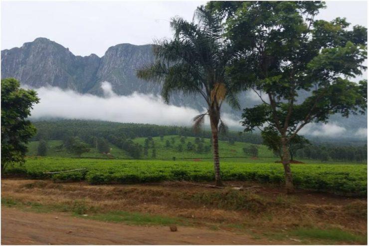 Tea plantations in front of Mount Mulanje
