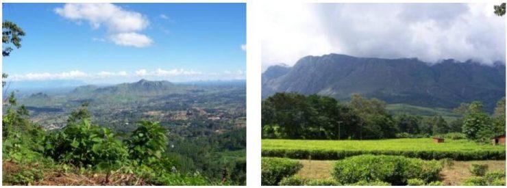Tea plantations on Mount Mulanje